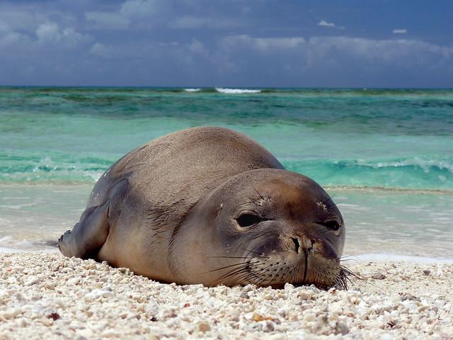 Hawaiian_monk_seal_at_French_Frigate_Shoals_07