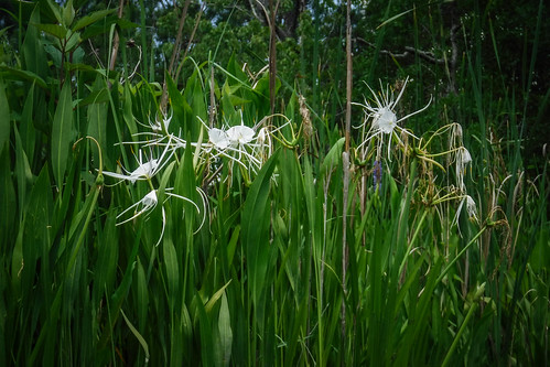 Spider Lilies on the New River-001