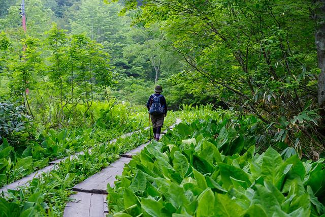 山ノ鼻へ・・・大きな水芭蕉の葉が茂る木道