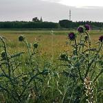 Disteln auf der Sauerländer Hutweide. Im Hintergrund eine angepflanzte Baumwand, die die Weide vom Dorf trennt.