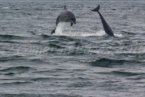 Bottlenose Dolphins (IMG_9073)