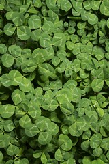 annual plant, trifolieae, leaf, herb, green, groundcover,