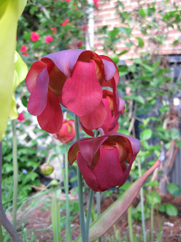 red flowers of a pitcher plant blooming