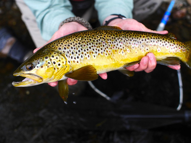 Kennebec River Brown Trout. Photo by Brian Donaghy