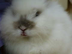 nose(1.0), animal(1.0), white(1.0), rabbit(1.0), domestic rabbit(1.0), pet(1.0), angora rabbit(1.0), whiskers(1.0), rabits and hares(1.0),