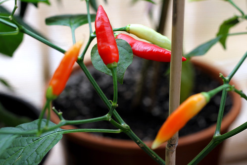 Mike's Aji Omnicolours Are Ripening