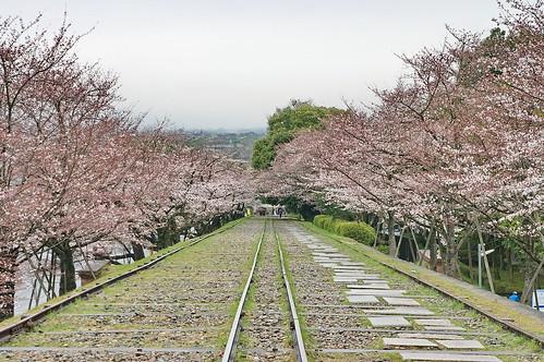 【写真】桜 : 岡崎疎水