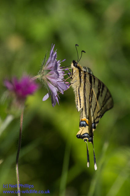 scarce swallowtial butterfly 2