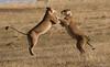 Two Beautiful Lionesses Sparring in East Africa