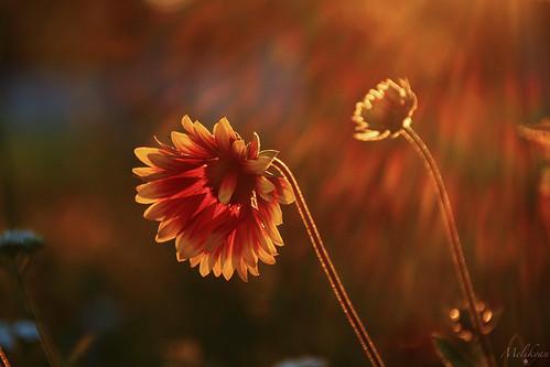 light sunset flower ծաղիկ մայրամուտ հավատ animelikyan շող