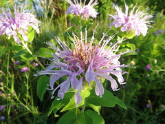 shrub(0.0), silybum(0.0), flower(1.0), plant(1.0), bee balm(1.0), scarlet beebalm(1.0), wildflower(1.0), flora(1.0), meadow(1.0),