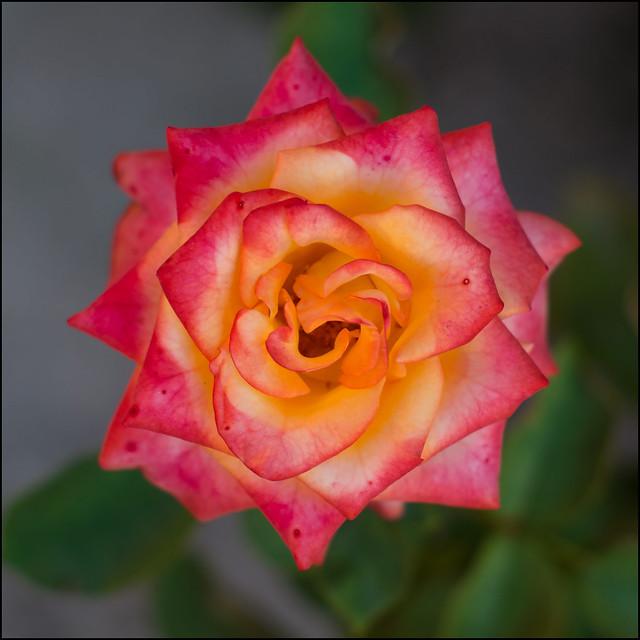 Rosa II - Prova di una vecchia lente