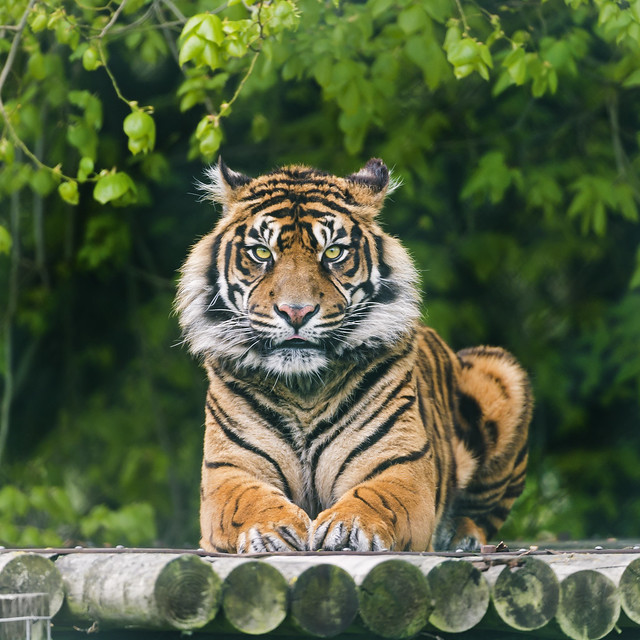 Sumatran tiger on the platform