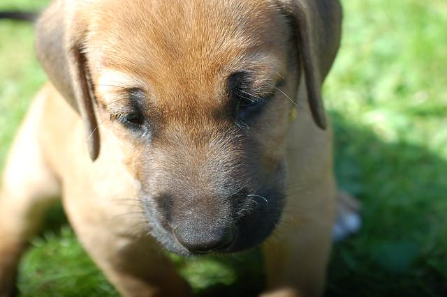 Broholmer puppy