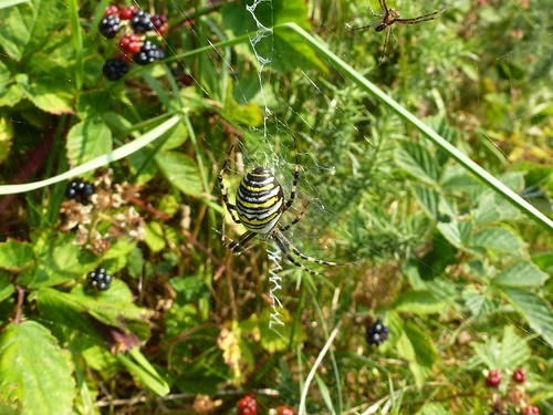 Wasp Spider with it's Mate or Potential Dinner, if he gets it wrong:-) by Linda Yarrow