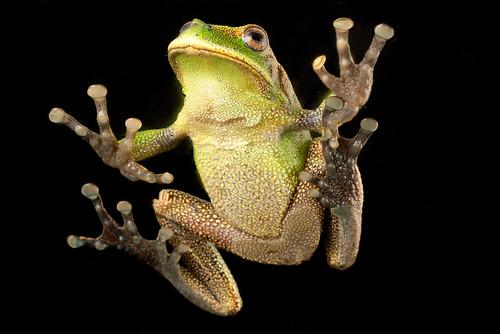 <i>Gastrotheca orophylax</i> Rana marsupial guardabosque ♂