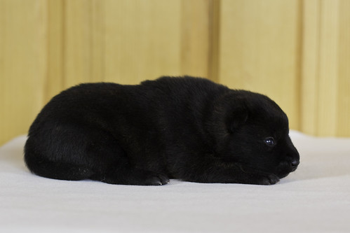 Ayui-Litter3-Day10-Puppy1-Male-b