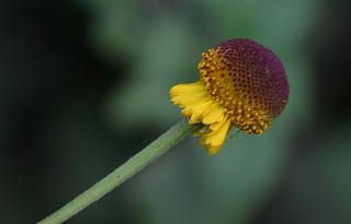 Sneezeweed, Rosilla, Autumn Lollipop - Helenium puberulum