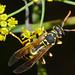 Flickr photo 'European Paper Wasp (Polistes dominula)' by: berniedup.
