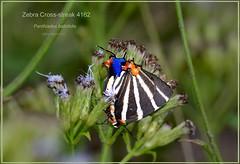 Zebra Cross-streak Texas National Butterfly Center Butterfly photography by Ron Birrell, DSC_4162