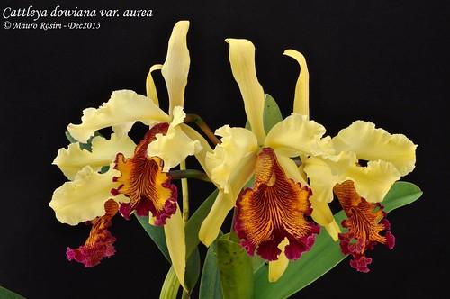 Cattleya dowiana var. aurea by Mauro Rosim