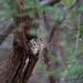 Collared Scops Owls by Diane Walkington