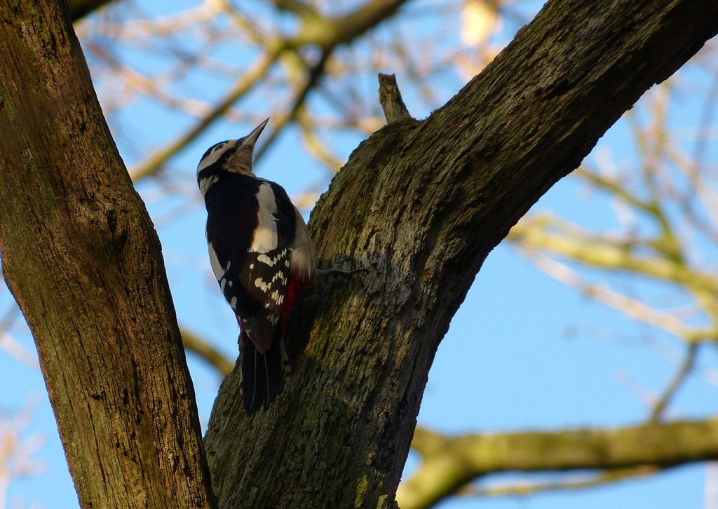P1060602 - Great Spotted Woodpecker