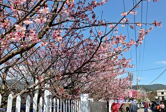 18 平菁街42巷櫻花