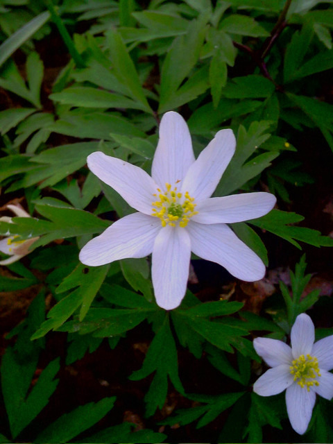 Wood Anemone, Bisham Woods