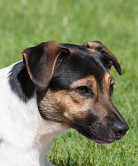 dog breed, animal, danish swedish farmdog, dog, brazilian terrier, mammal, miniature fox terrier, terrier,