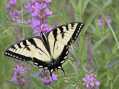 Tiger Swallowtail by Howard Hoople