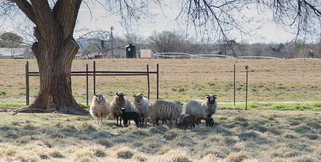 Sheep and Lambs in the Shade