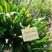 Small photo of Agapanthus orientalis