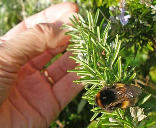 Queen bumblebee in winter