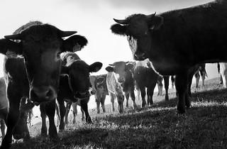 Kuh(le) Halbstarke