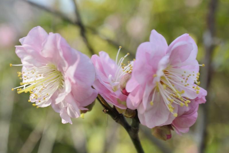 左岸公園的重瓣梅花