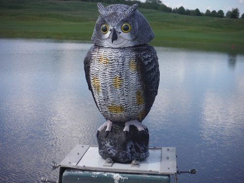 Owl on Bridge in grounds of Oxfordshire Golf Club