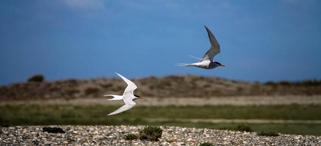 Gaviotín sudamericano - Southamerican tern
