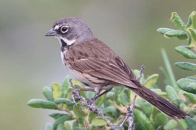 Artemisiospiza belli belli Bell's Sparrow