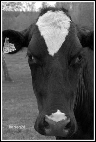 europe europa poland polska mazovia mazowsze stupsk krowa cow