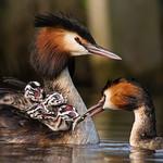 Fuut - Great Crested Grebe - Podiceps Cristatus