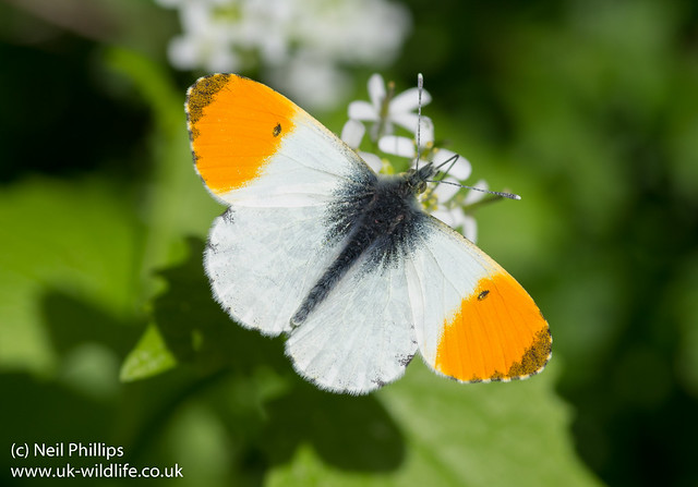 orange tip butterfly male Anthocharis cardamines-12