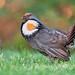 sooty grouse (dendragapus fuliginosus)