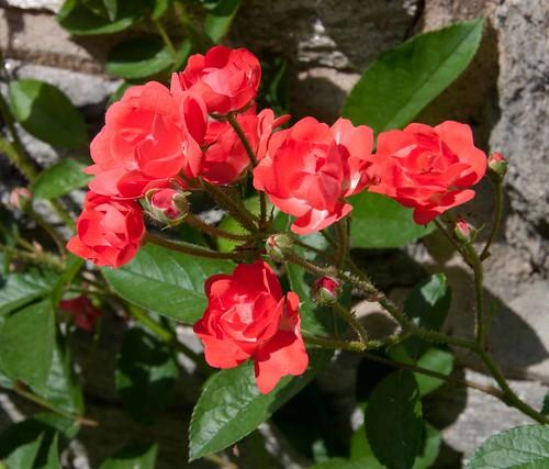 Polyantha Rose LA 6-2-13 8788 lo-res