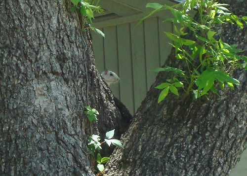 Shy White Squirrel