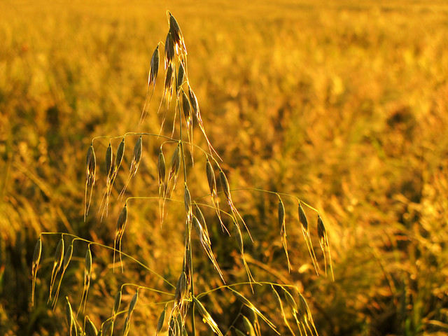Common wild Oat in the Wheat Field