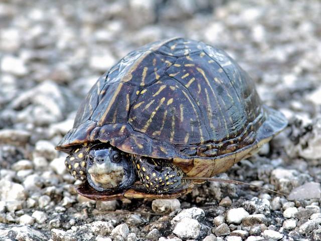 Florida Box Turtle 20130716