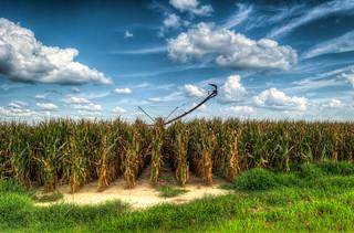 more corn