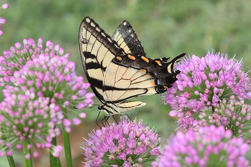 blue orange black yellow butterfly northcarolina allium swallowtail tigerswallowtail richmondcounty onionflower papilioglaucus eyespot