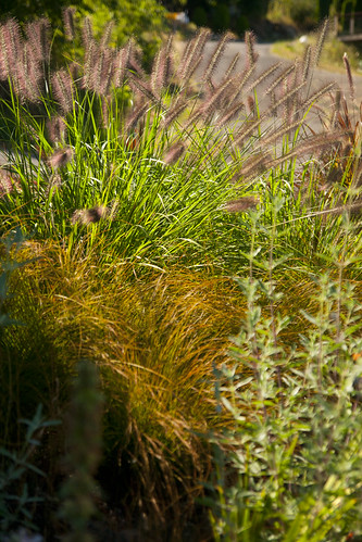 bob hyland pennisetum red head